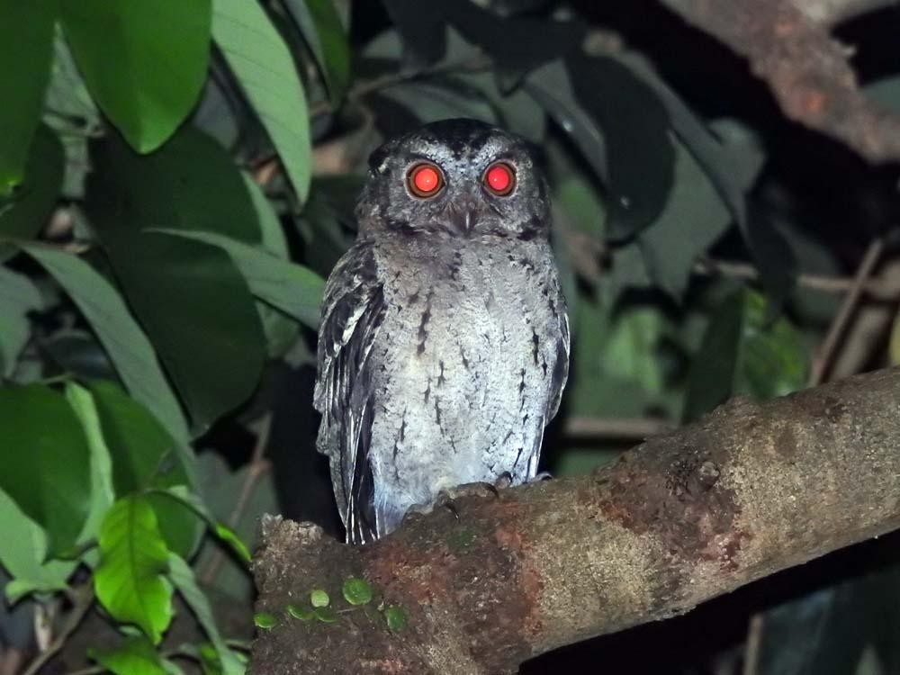 Balinese Owl
