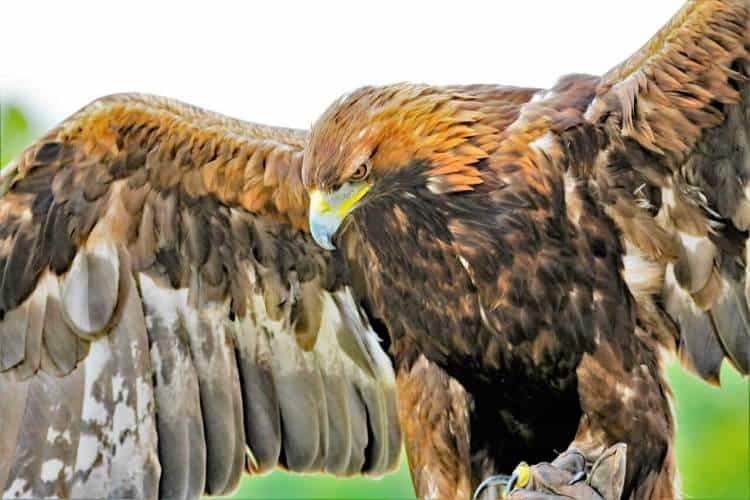 Javanese Hawk-Eagle