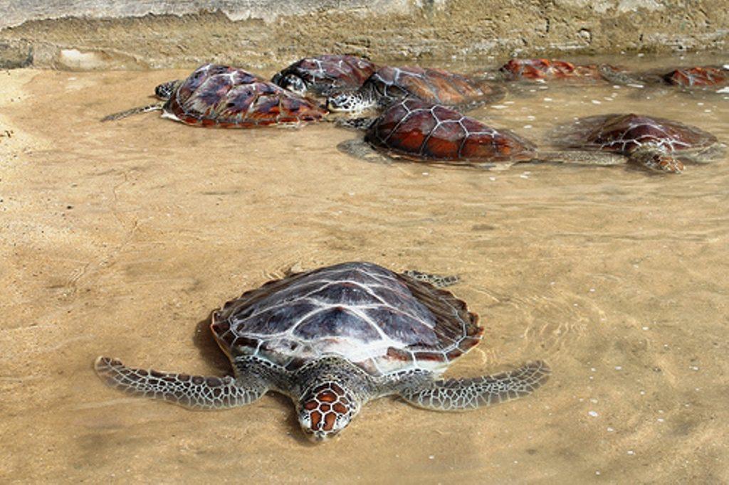 Balinese Turtle