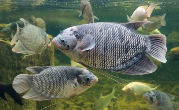 freshwater fish in indonesia