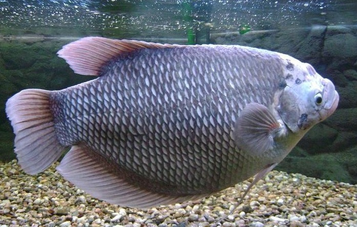 Gurami Fish