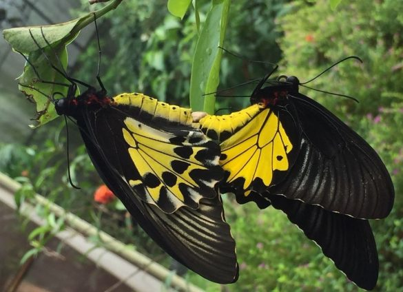 types of indonesian butterfly