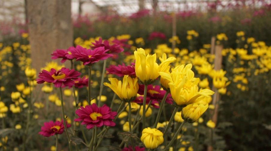 Krisan Flower Garden
