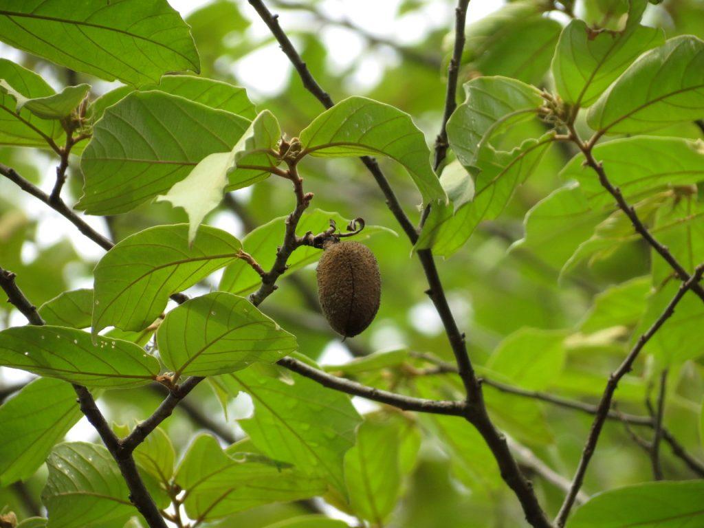 bayur tree