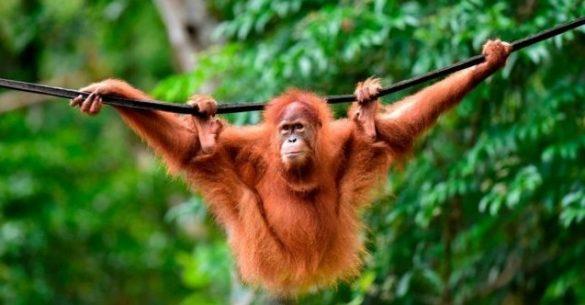 borneon orangutan and sumatran orangutan