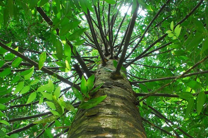 damar tree