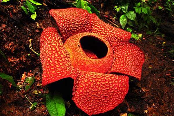 rafflessia arnoldii